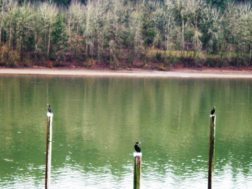 cormorants willamette river